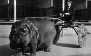 Ippopotamo del Circo che traina un carretto, 1924