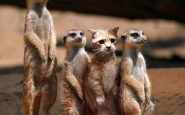funny-not-like-the-others-meerkats copy