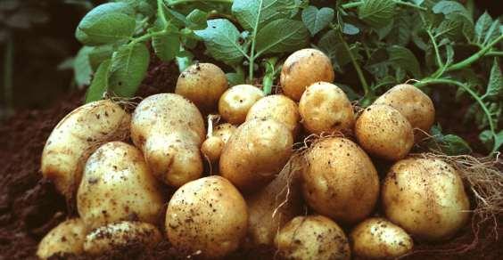 patata_OGM