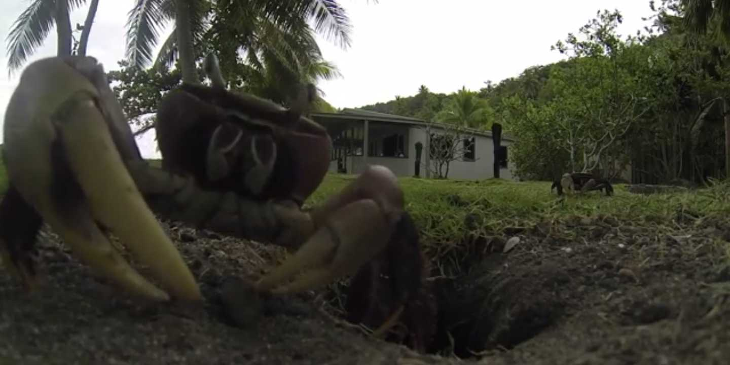 heres what happens when a crab steals a gopro camera and takes it down its nest