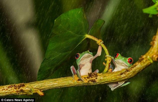rana-ombrello