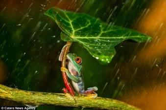 rana-ombrello2