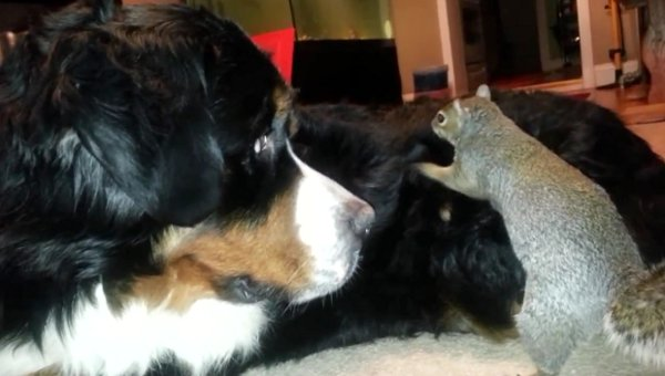 Pet-Squirrel-hides-his-nut-in-the-fur-of-a-Bernese-Mountain-dog-as-seen-on-Ridiculousness