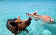 isola-dove-nuotano-a-maiali