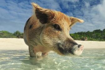 maialini-sull-isola