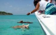 pig-island3