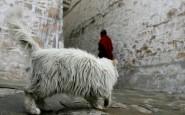 tibet-i-gatti-sul-tetto-del-mondo