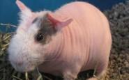 un-maialino-glabro-tutto-rosa