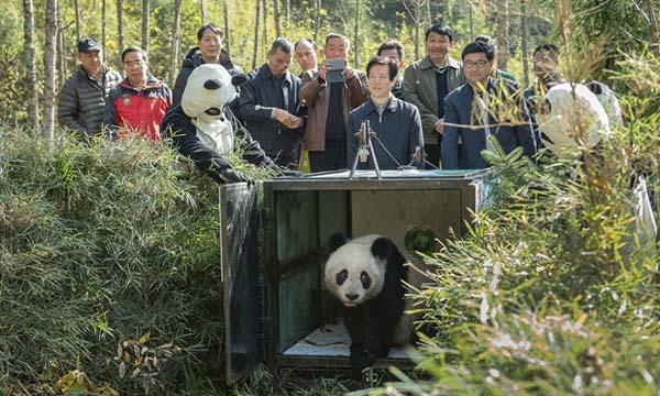 China panda release into Wild