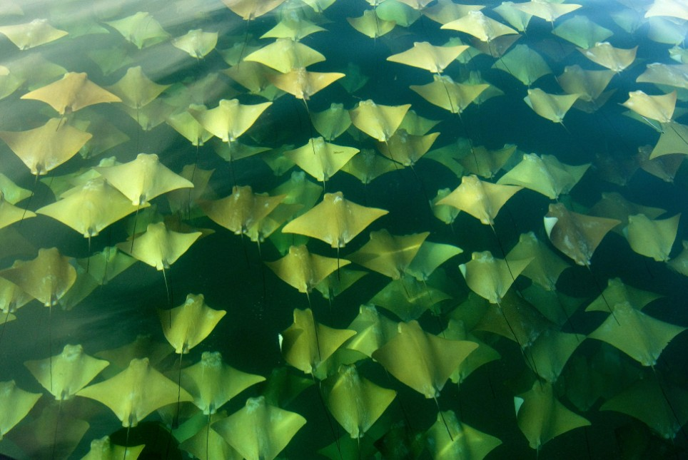 AMATEUR PHOTOGRAPHER CAPTURES INCREDIBLE PICTURES OF MIGRATING RAYS