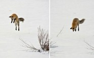 670x308xamazing-fox-photos-28-2.jpg.pagespeed.ic.H1PM4u5JGr