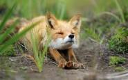 670x418xamazing-fox-photos-3.jpg.pagespeed.ic.4PTPU5odOT
