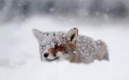 670x446xamazing-fox-photos-7.jpg.pagespeed.ic.HkhoVW3UBq
