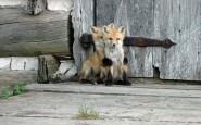 670x478xamazing-fox-photos-17.jpg.pagespeed.ic.xnfRg8kXai