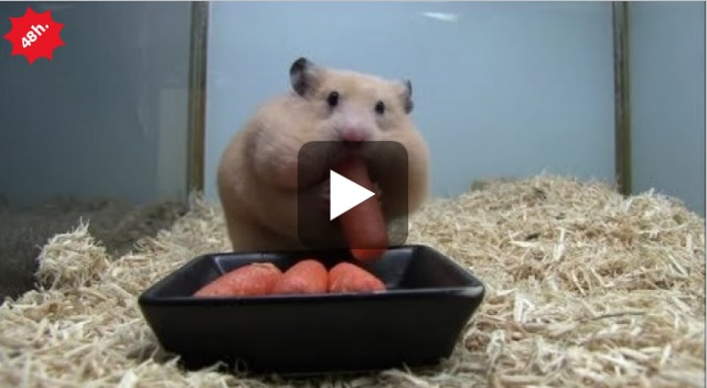 criceto carote