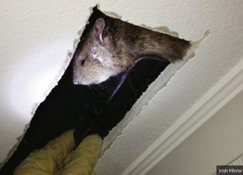 ratto-gigante-800