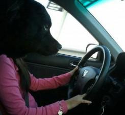 right-angle-dog-drive-car