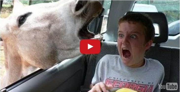 animali urlano come umani