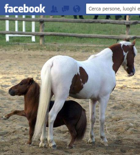 Animali: è cavallo più piccolo mondo pony rubato a Mostra