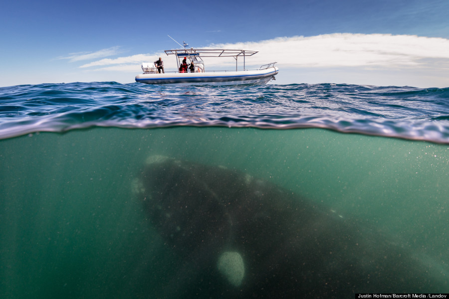 WHALE UNDER A BOAT