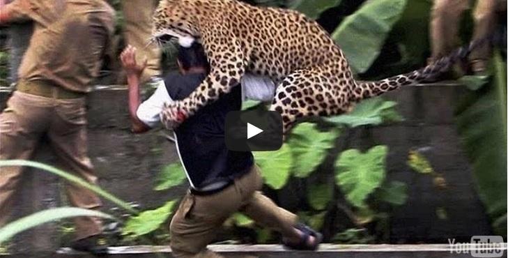 leopardo attacca