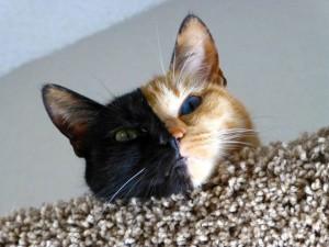 two faced chimera cat venus 14