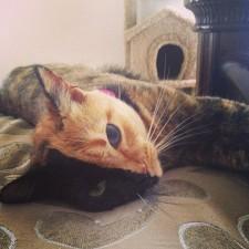 two faced chimera cat venus 20