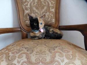 two faced chimera cat venus 25