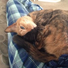 two faced chimera cat venus 26