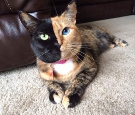 two-faced-chimera-cat-venus-29