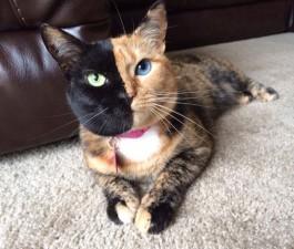 two faced chimera cat venus 29