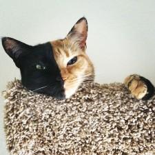 two faced chimera cat venus 3