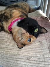 two faced chimera cat venus 30