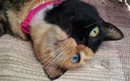 two-faced-chimera-cat-venus-30