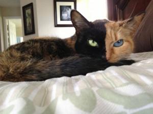 two faced chimera cat venus 32