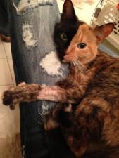 two faced chimera cat venus 33