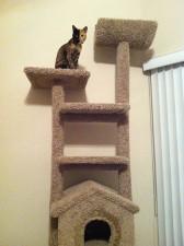 two faced chimera cat venus 38