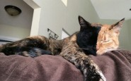 two-faced-chimera-cat-venus-40