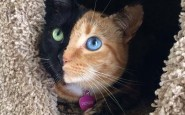 two-faced-chimera-cat-venus-60