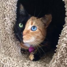 two faced chimera cat venus 60