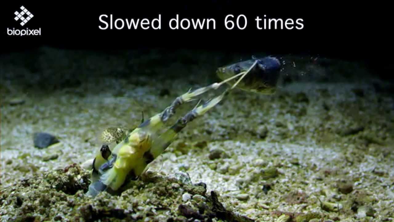 Gamberetto come una mantide trafigge un pesce in slow-motion