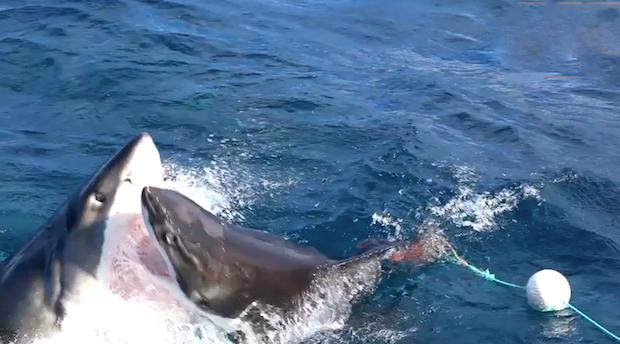 La lotta tra due squali immortalata da un fotografo