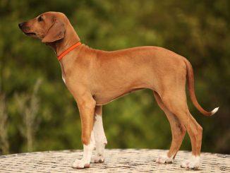razze di cane più rare al mondo
