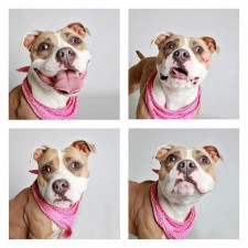 1-year-old-Staffordshire-Bull-Terrier-Roxy