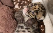 Leopard-cub (1)
