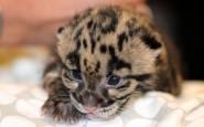 Leopard-cub (2)