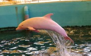 PAY-Albino-Dolphin