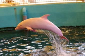 PAY-Albino-Dolphin