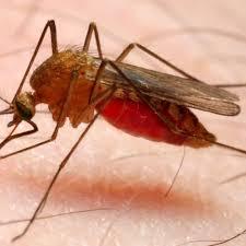Punture di zanzara? Causa di un gene del DNA novità