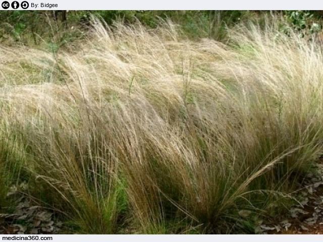 graminacee piante allergie quali sono